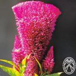 "The Flower of ""Las Monjas"""