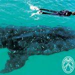 Tiburón Ballena en Holbox