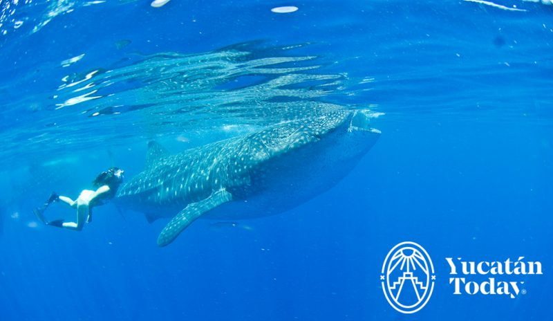 Tiburon ballena 2