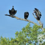 Cherie's Bird of the Month: Black Vulture