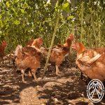 Terramaya Orgánica – Organic Chicken