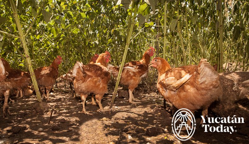 Pollo Organico Terramaya