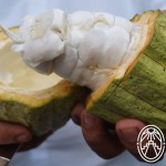Cacao…an Aroma of Our History