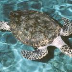 Marine Turtles in Yucatan