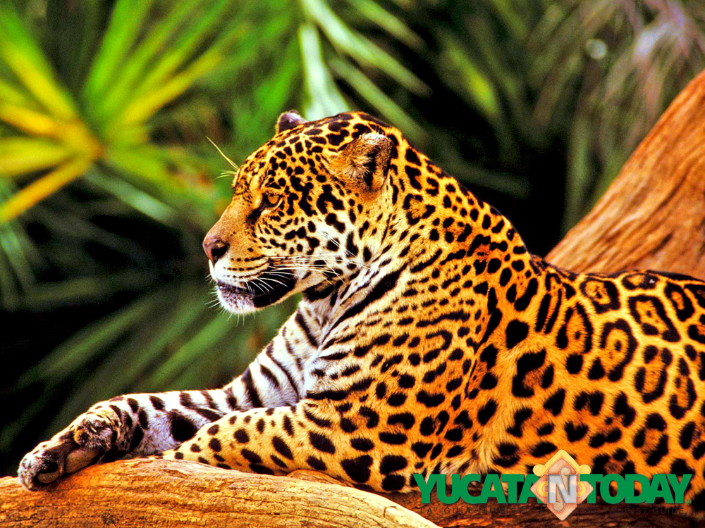 discover the power of the jaguar yucatan today. Black Bedroom Furniture Sets. Home Design Ideas